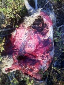 wolf sheep kill 1