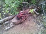 The remains of a sheep killed by a wolf(Dashiell Ranch 2014)