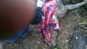 wolf sheep kill 3