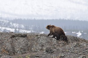bears-1149459__340